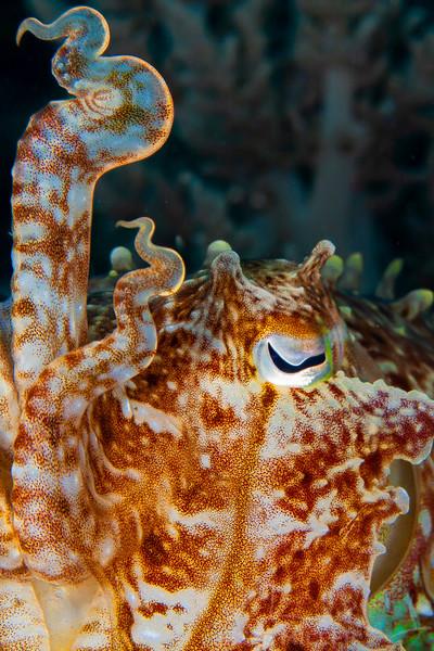 *Broadclub Cuttlefish - Pulau Dua Reef - Dive #17 of 41