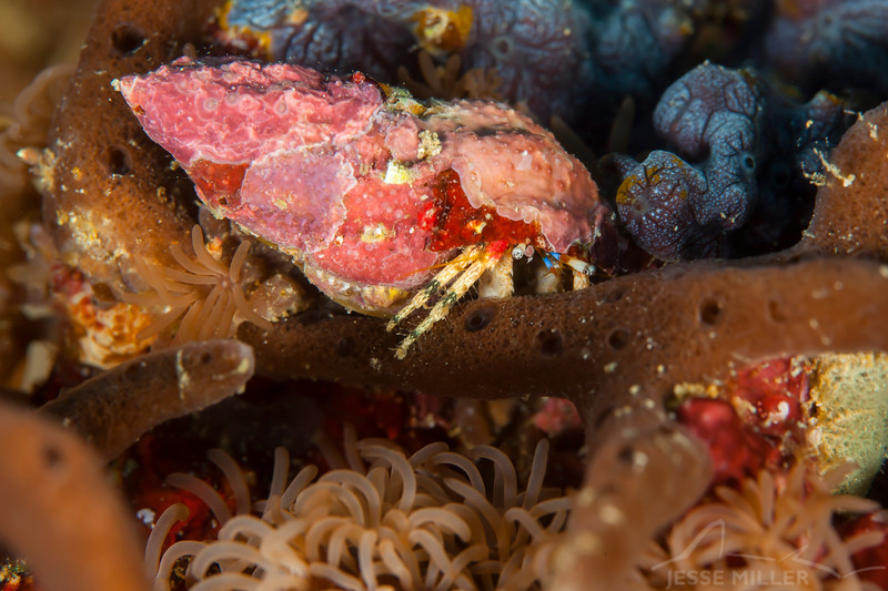 Beautiful Hermit Crab - Shallow Paradise - Dive #1 of 41