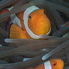 Clown Anemonefish - Nemo Rock - Dive #16 of 41