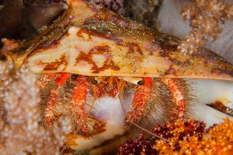 White-Spotted Hermit Crab - Mayumi Wall - Dive #11 of 41