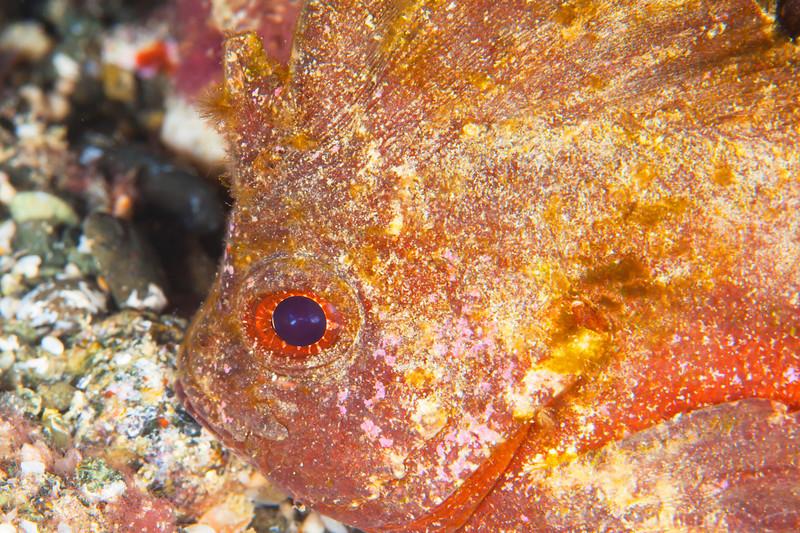 Spiny Waspfish - Pulau Dua Reef - Dive #14 of 41