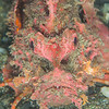 *Spiny Devilfish Scorpionfish - Tompotika Reef - Dive #18 of 41