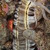Lion's Paw Sea Cucumber - Pulau Dua Reef - Dive #29 of 41