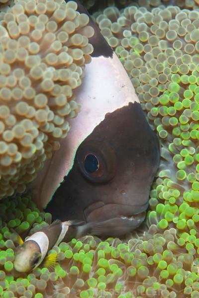 Clark's Anemonefish - Pulau Dua Reef - Dive #14 of 41