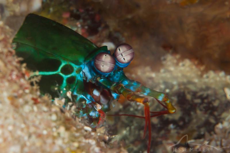 Peacock Mantis Shrimp - Entre 2 MERS III - Dive #26 of 41