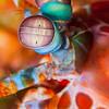 *Peacock Mantis Shrimp - Jenad Side - Dive #4 of 41