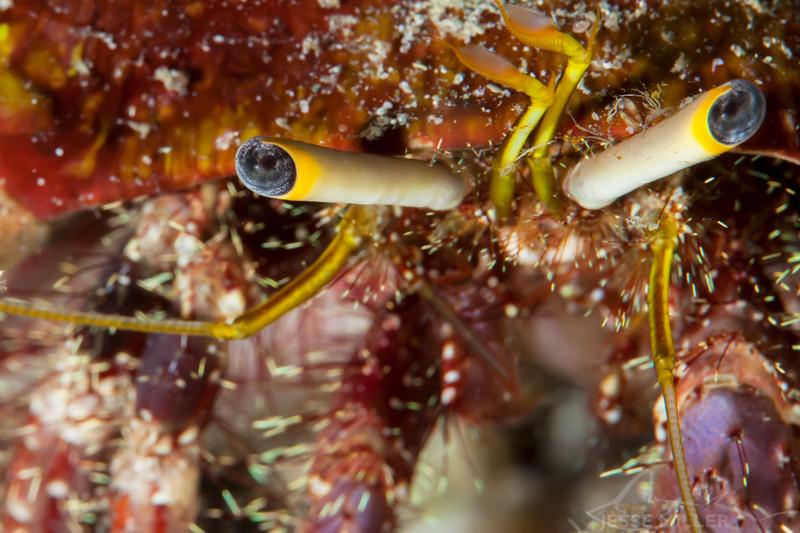 Dark Knee Hermit Crab - Pulau Dua Reef - Dive #25 of 41