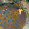 Blue-Spotted Ribbontail Ray - Solan Reef - Dive #31 of 41