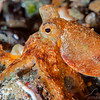 Long Arm Octopus - Pulau Dua Reef - Dive #25 of 41