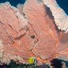 Blacklip Butterflyfish - Batu Tetek - Dive #15 of 41