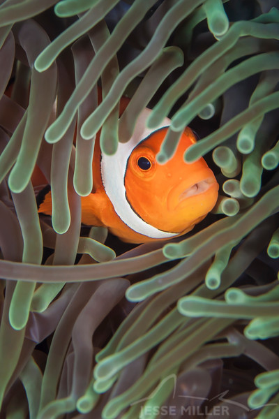 Clown Anemonefish - Jenad Side - Dive #4 of 41