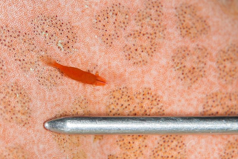 Sea Star Shrimp - Mbelang - Dive #36 of 41