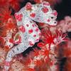 *Pygmy Seahorse - Tanduk - Dive #39 of 41