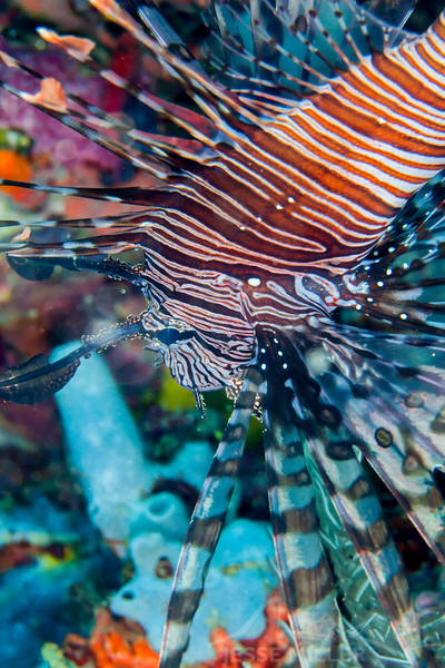 Red Lionfish - Mayumi Wall - Dive #11 of 41