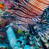 Red Lionfish - Mayumi Wall - Dive #11 of 41