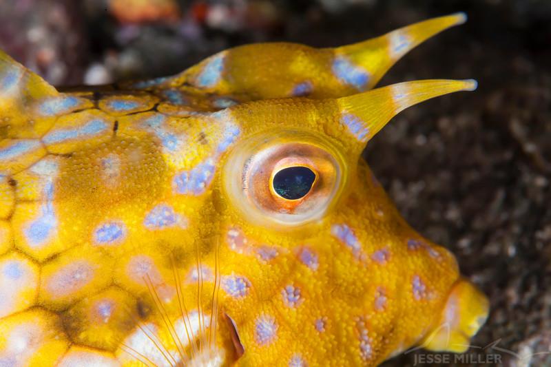 Thornback Cowfish - Pulau Dua Reef - Dive #25 of 41