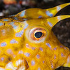 Thornback Cowfish - Pulau Dua Reef - Dive #25 of 41