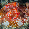Tiger Mantis Shrimp - Pulau Dua Reef - Dive #25 of 41