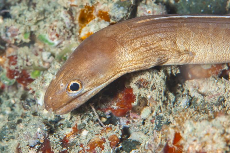 White-Margined Moray Eel - Pulau Dua Reef - Dive #14 of 41