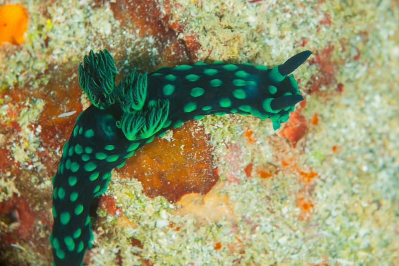 Crested Nembrotha Nudibranch - Tanduk - Dive #39 of 41