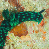 Crested Nembrotha Nudibranch - Tanduk - Dive #39 of 41