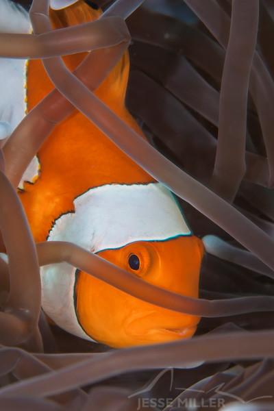 Clown Anemonefish - Nemo Rock - Dive #16 of 41