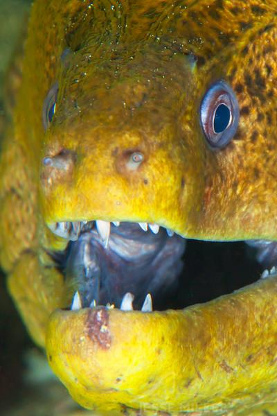 Green Moray Eel - Mbelang - Dive #33 of 41