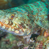 Reef Lizardfish - Pulau Dua Reef - Dive #17 of 41