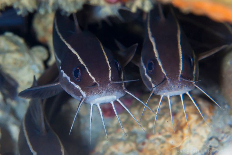 Striped Catfish - Entre 2 MERS II - Dive #22 of 41