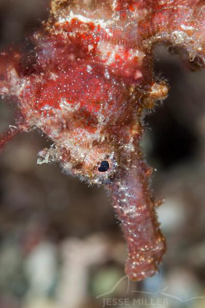Great Seahorse - Pulau Dua Reef - Dive #25 of 41