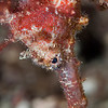 Great Seahorse - Pulau Dua Reef - Dive #25 of 41