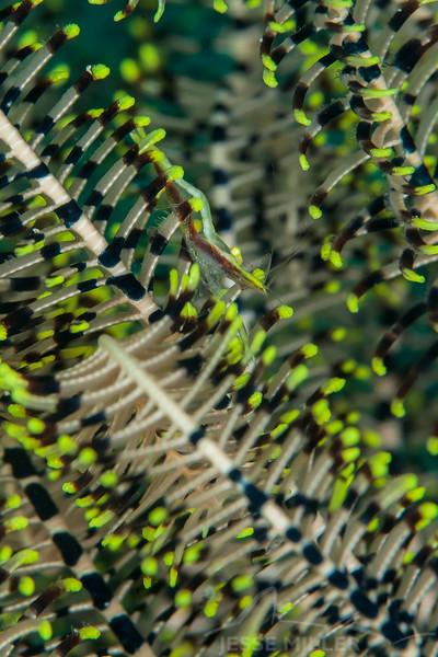 Commensal Crinoid Shrimp - Mbelang - Dive #36 of 41
