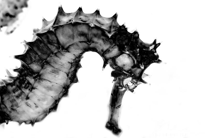 Thorny Seahorse (Reverse Negative) - Pulau Dua Reef - Dive #7 of 41
