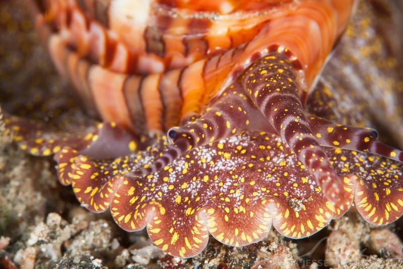 Articulate Harp - Pulau Dua Reef - Dive #14 of 41