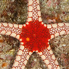 Peppermint Sea Star - Solan Reef - Dive #5 of 41