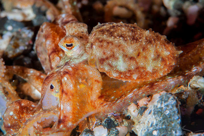 *Long Arm Octopus - Pulau Dua Reef - Dive #25 of 41