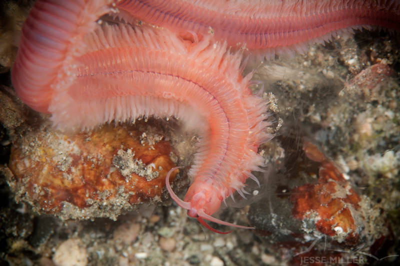 Scaleworm - Pulau Dua Reef - Dive #14 of 41
