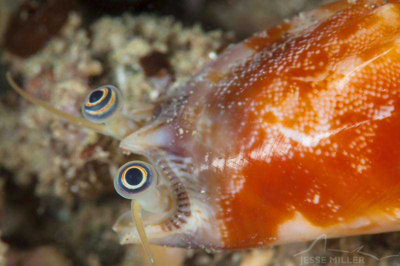 Toothed Conch - Pulau Dua Reef - Dive #7 of 41