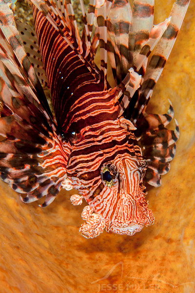 Spotfin Lionfish - Solan Reef - Dive #31 of 41