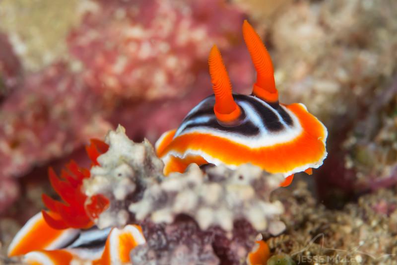 Magnificent Chromodoris Nudibranch - Ody's Ridge - Dive #19 of 41