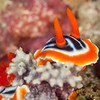 Magnificent Chromodoris Nudibranch - Ody's Ridge - Dive #19 of 41