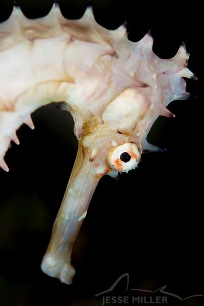 Thorny Seahorse - Pulau Dua Reef - Dive #7 of 41