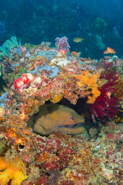 Green Moray Eel - Batu Tetek - Dive #15 of 41