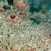 Spiny Devilfish Scorpionfish - Mbelang - Dive #40 of 41