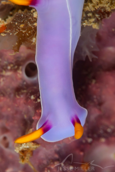 Bullock's Hypselodoris Nudibranch - Ali Baba 1 - Dive #8 of 41
