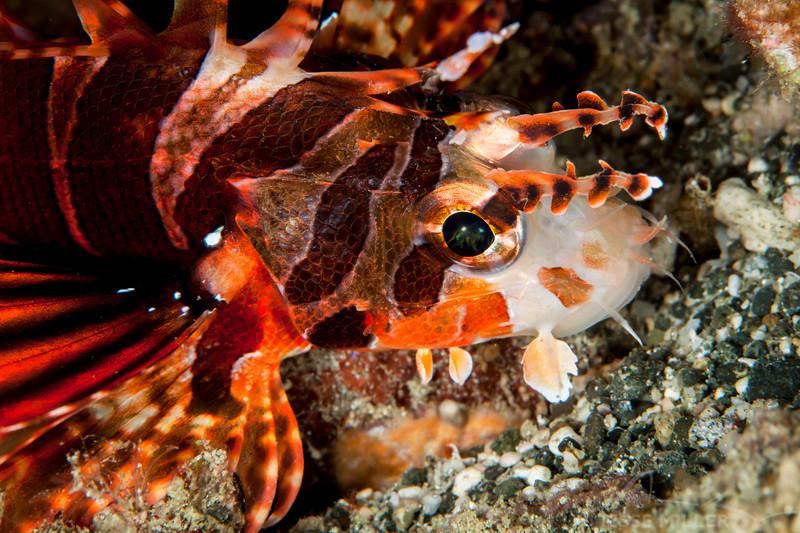 False Mombasa Lionfish - Pulau Dua Reef - Dive #14 of 41