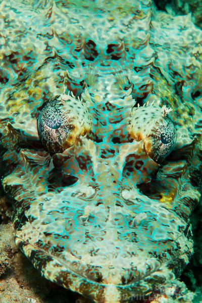 Crocodile Flathead Fish - Ody's Ridge - Dive #23 of 41