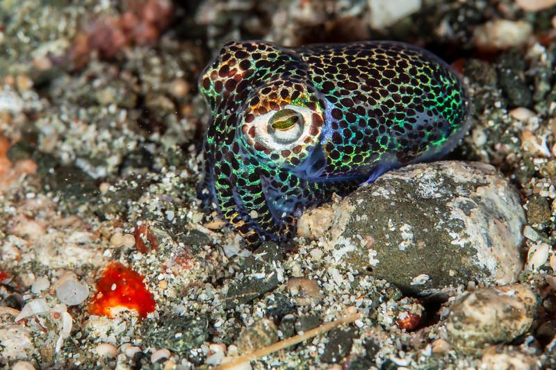 Bobtail Squid - Pulau Dua - Dive #41 of 41