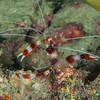 Banded Coral Shrimp - Mbelang - Dive #33 of 41
