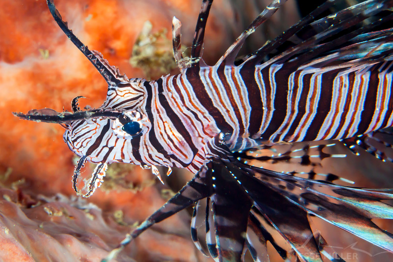 Red Lionfish - Entre 2 MERS III - Dive #26 of 41